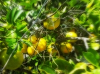 Lemon Tree, Oh So Pretty